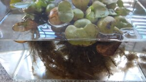 鹿児島 デイサービス スター倶楽部かんまち 金魚の産卵